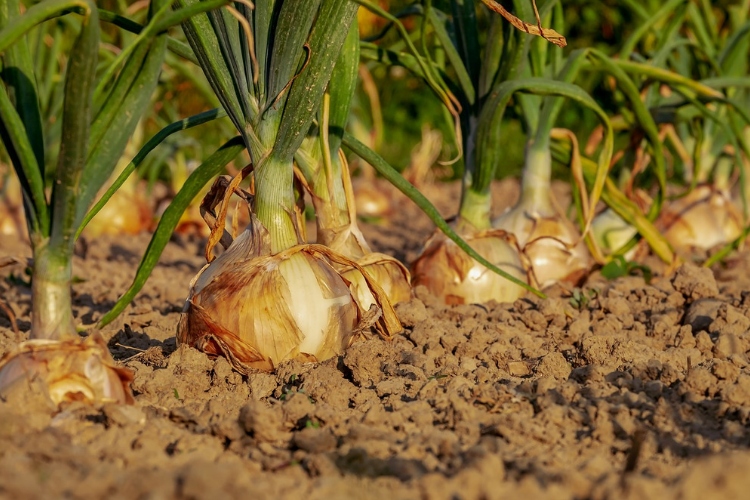 How To Grow Onions in a Container - Foodica